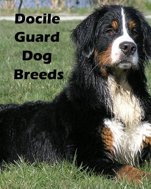 docile-guard-dog-breeds