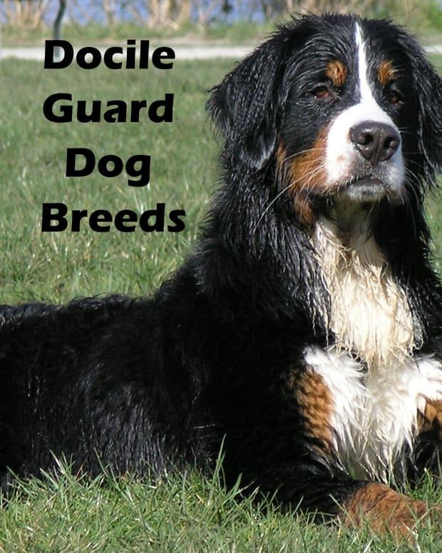 docile-guard-dog-breeds