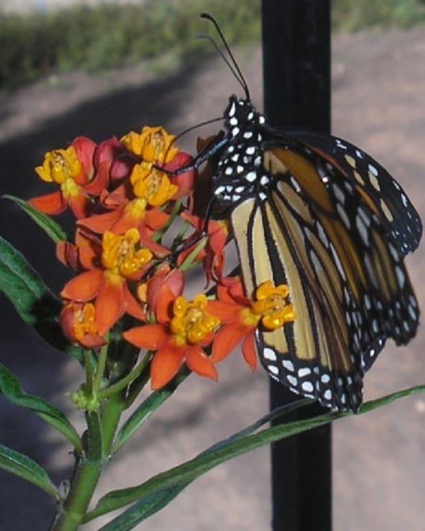 butterfly-gardening-the-tenerife-way
