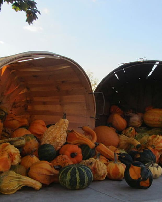 growing-and-drying-ornamental-gourds