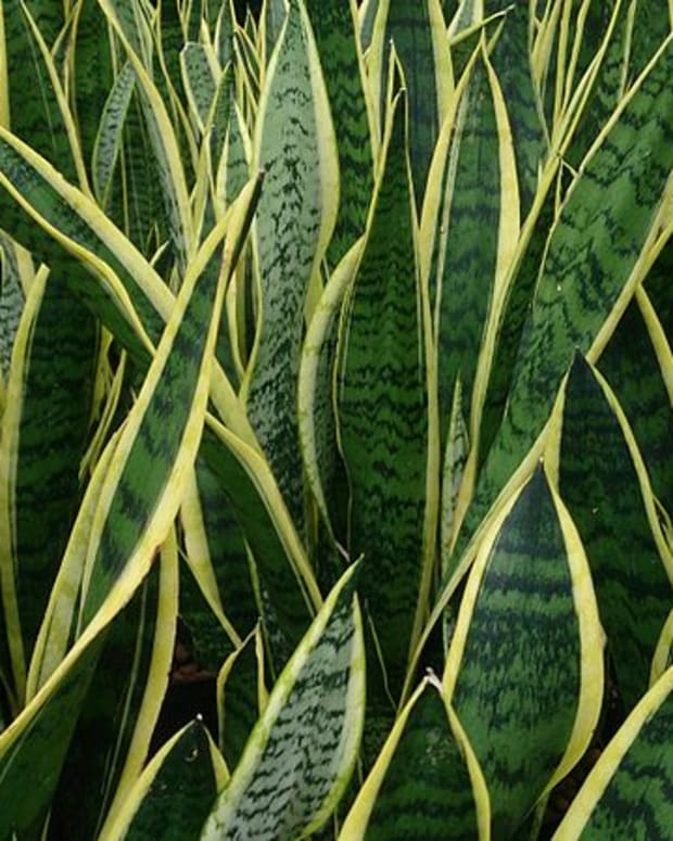 how-to-grow-sansevieria