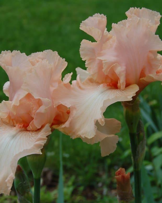 iris-bearded-iris