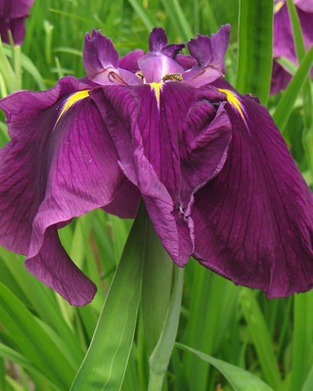 iris-japanese-iris