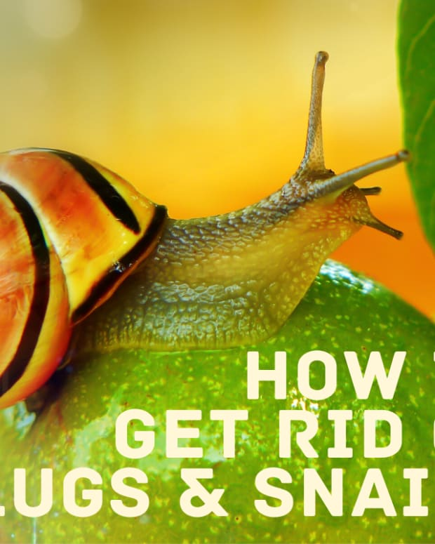 get-rid-of-snails-slugs-in-water-tanks-aquarium-garden