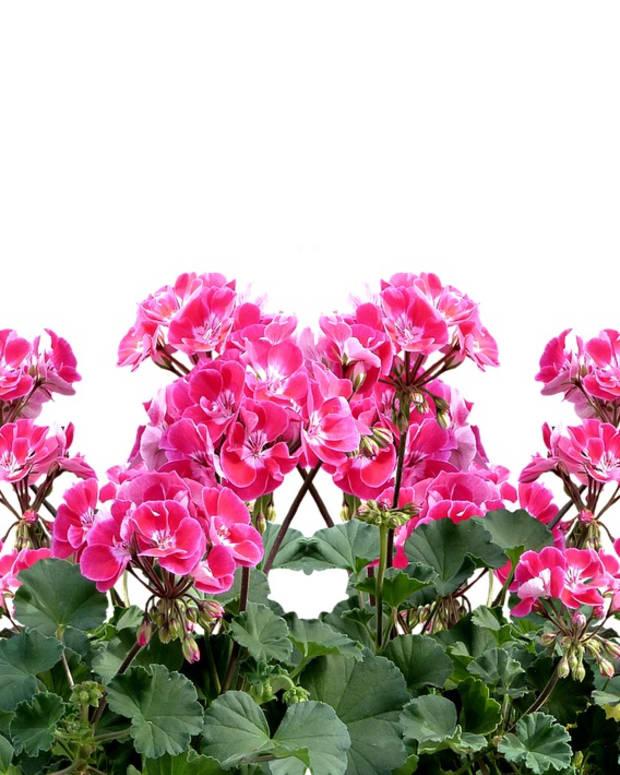 summer-color-geraniums-pelargoniums