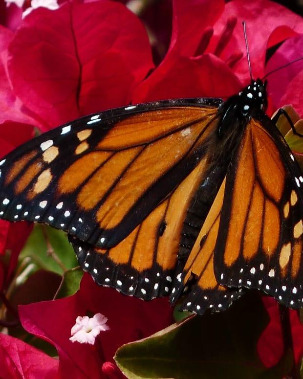 butterfly-gardening-in-iberia