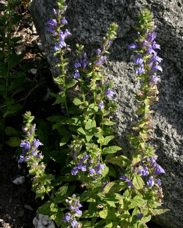 wild-flowers-great-blue-lobelia