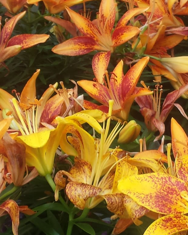 An easy to grow perennial flower species
