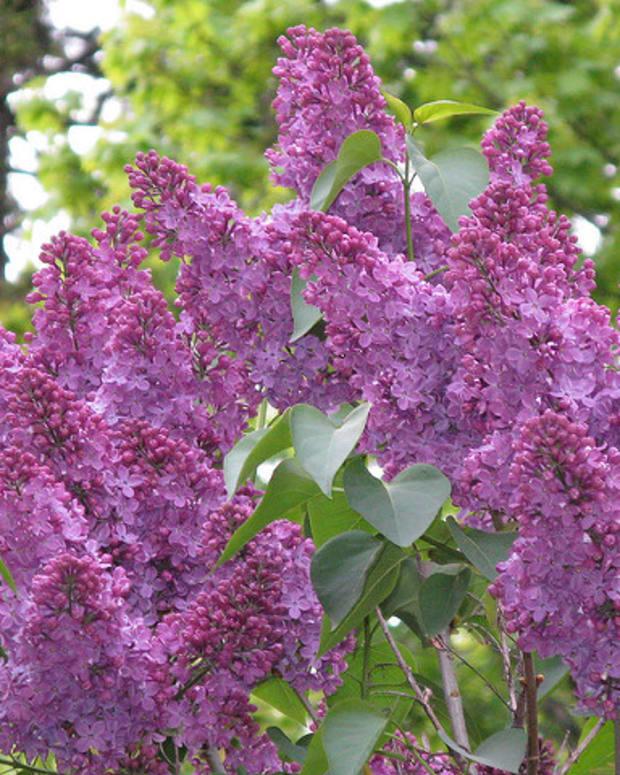reblooming-shrubs-for-the-home-garden
