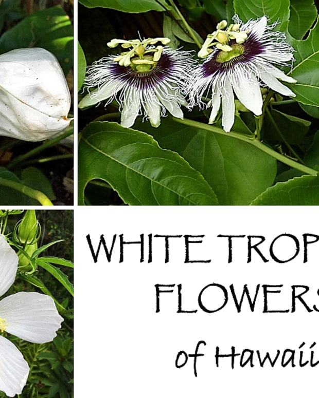 photo-gallery-white-tropical-flowers-of-hawaii