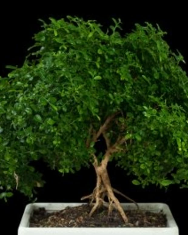 indoor-bonsai-tree-care-guide