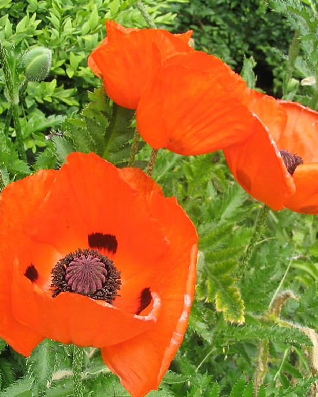 cottage-garden-favorites-poppies