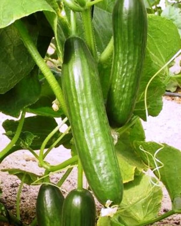 hand-pollinating-your-cucumber-plants