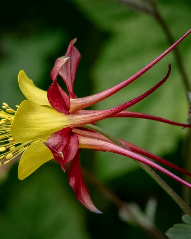 how-to-grow-absolutely-stunning-yellow-columbine-flowers