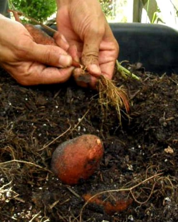 guide-to-growing-sweet-potatoes-in-a-container