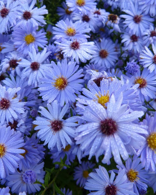asters-the-stars-of-your-fall-garden