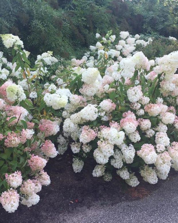 how-to-grow-vanilla-strawberry-hydrangea