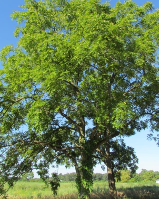 toxicity-of-black-walnut-trees-in-ohio