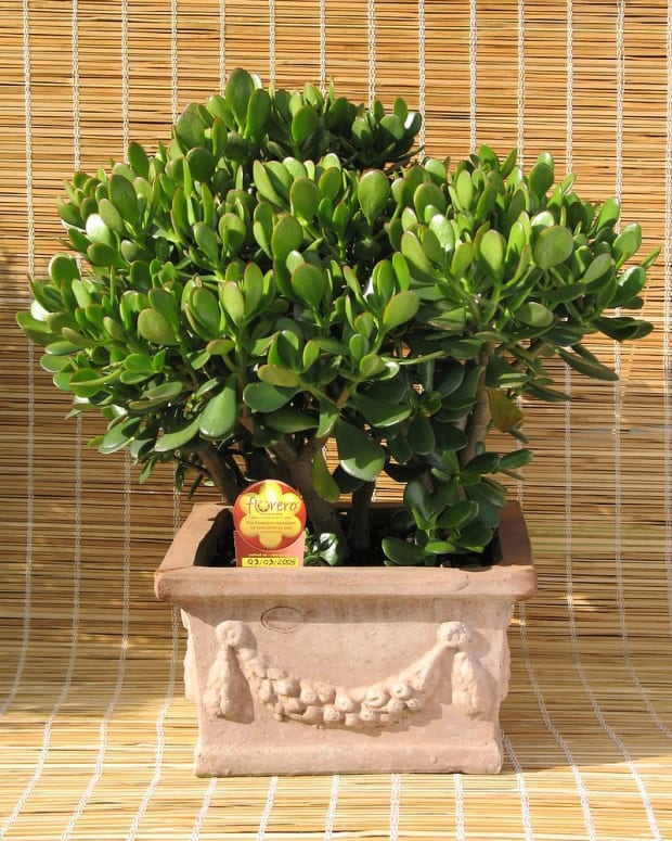 how-to-grow-a-jade-plant