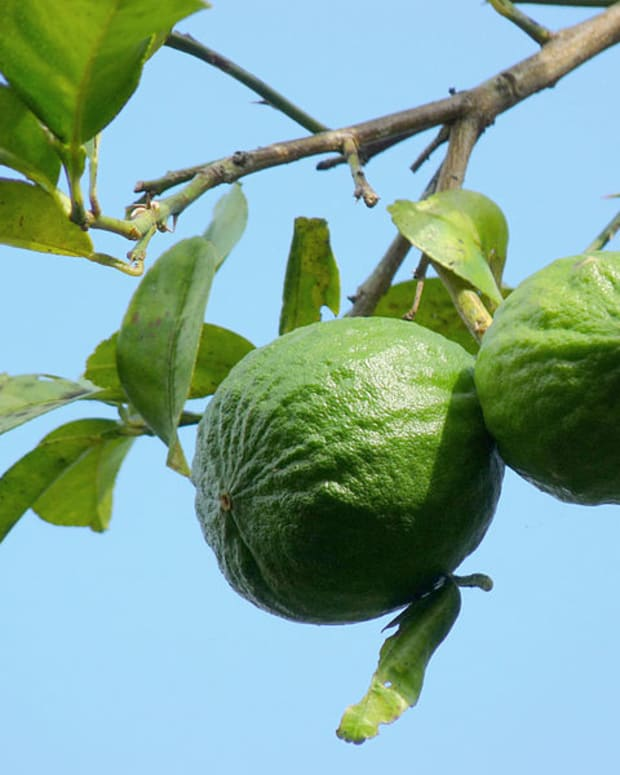 how-to-grow-a-key-lime-tree