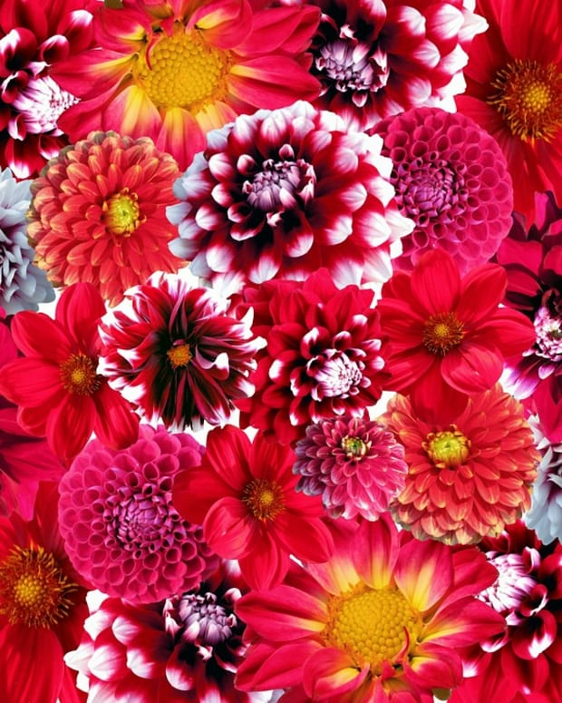 how-to-grow-dahlias-for-summer-color