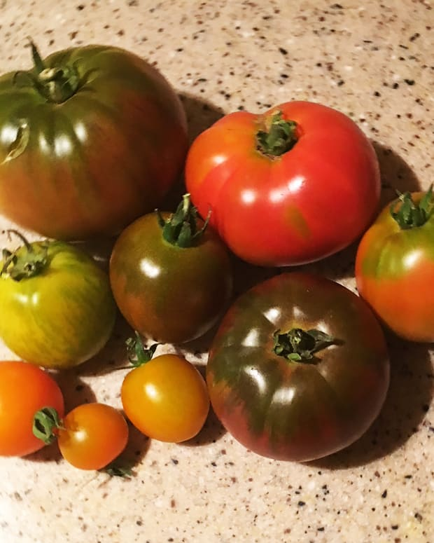 cloning-tomatoes-the-easy-way