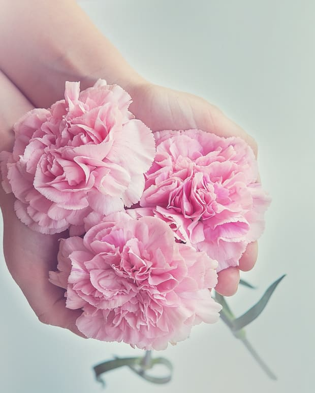 how-to-care-for-carnations