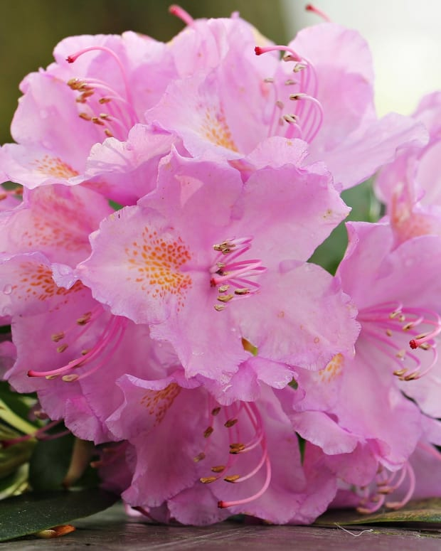 how-to-care-for-azaleas