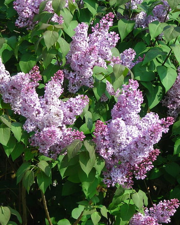 how-to-grow-lilacs-for-spring-color