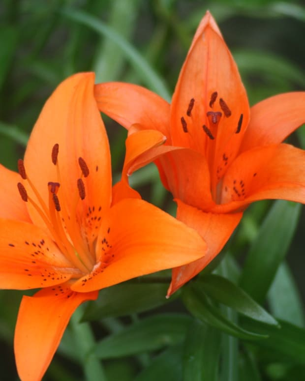 how-to-care-for-tiger-lilies