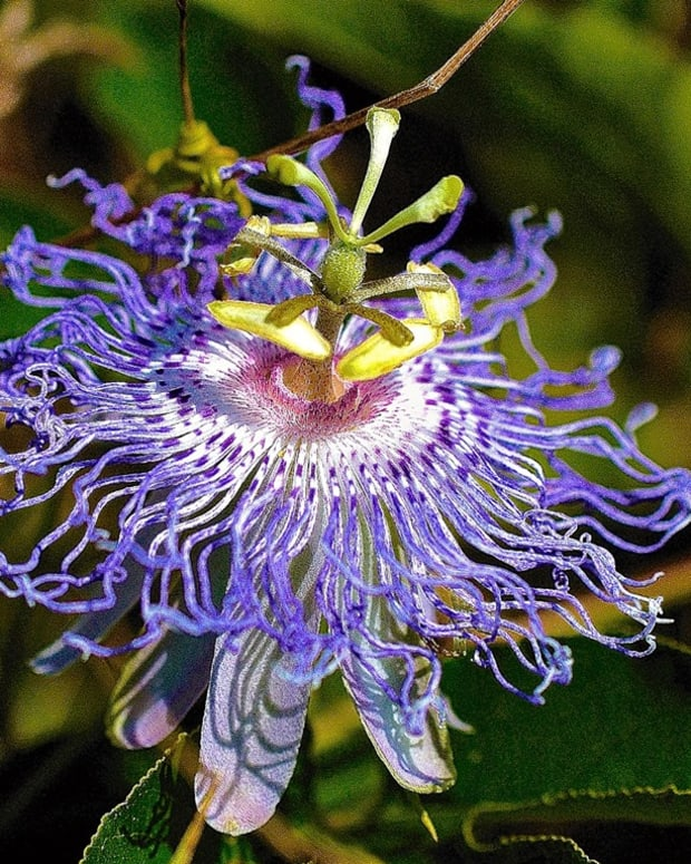 passion-flowers-may-look-delicate-but-they-are-actually-tough