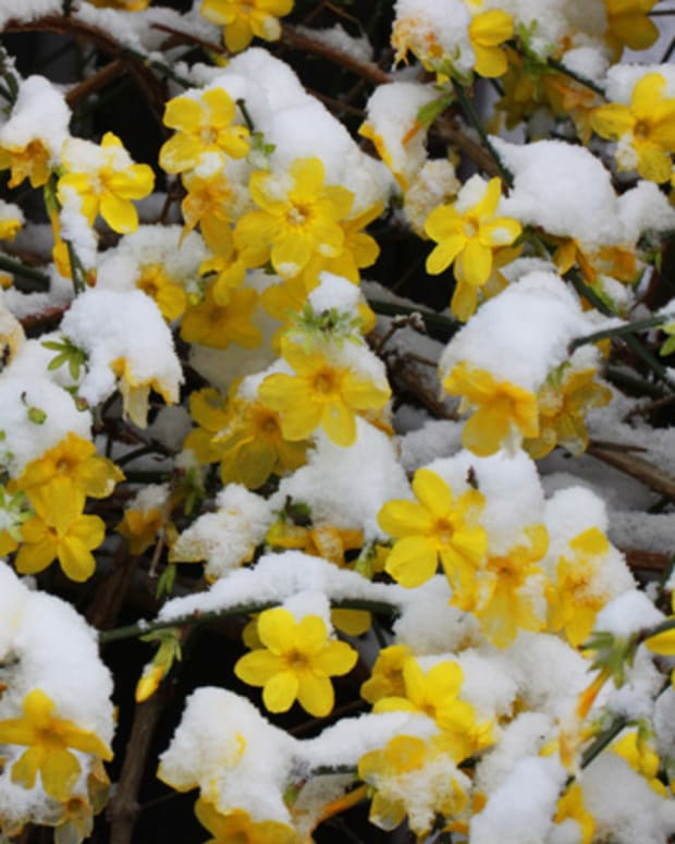 winter-blooming-flowers-part-2-winter-jasmine