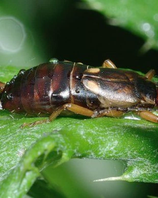 controll-earwig-damage-in-your-vegetable-garden