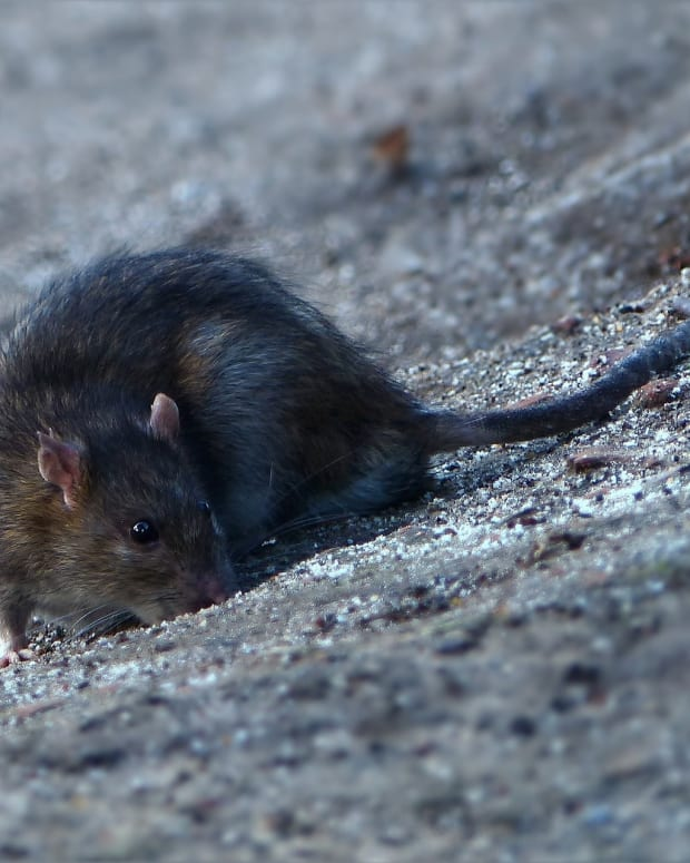 how-to-get-rid-of-rats-without-poison-a-humane-no-kill-approach-to-rat-control