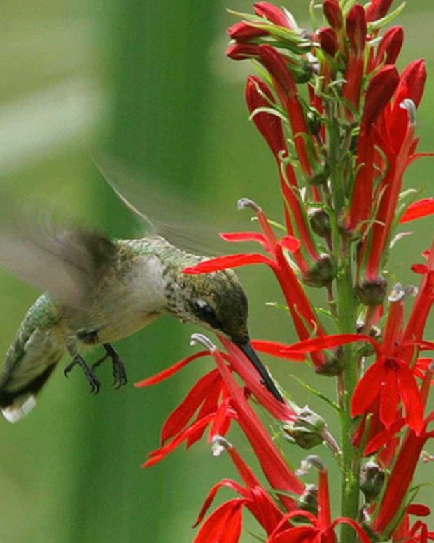 how-to-grow-cardinal-flowers