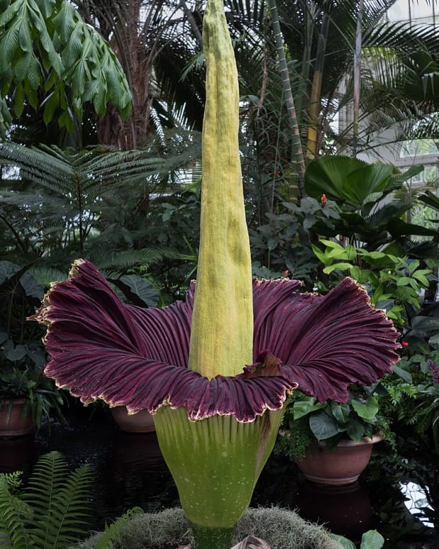 how-to-grow-a-corpse-flower