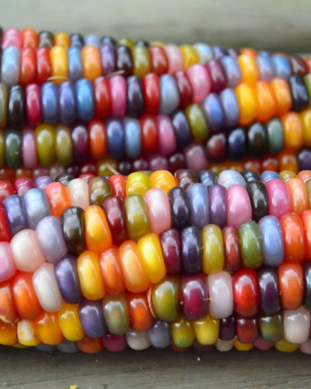 beautiful-glass-gem-corn