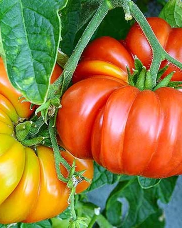 hybrid-vs-heirloom-tomatoes