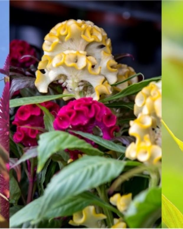 how-to-grow-celosia