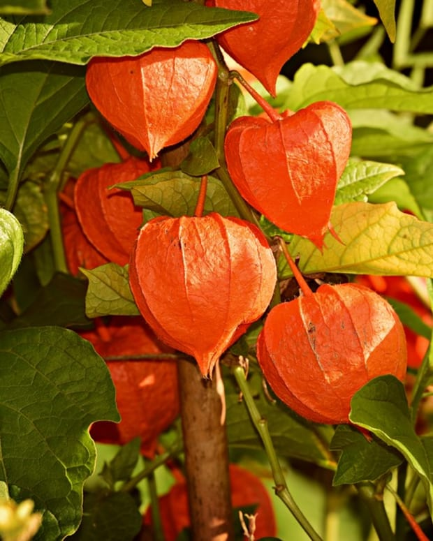 how-to-grow-chinese-lanterns