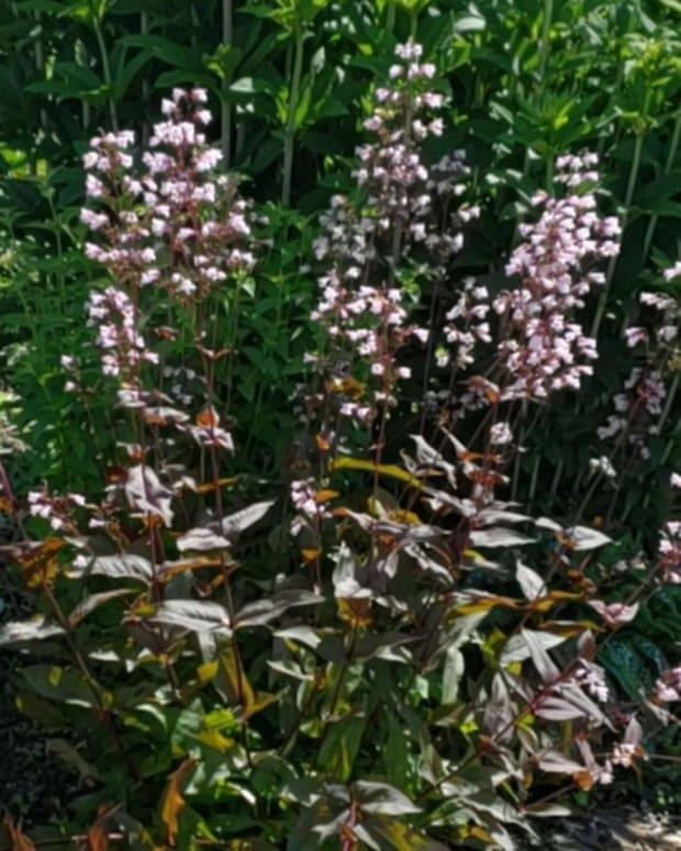how-to-grow-pentstemon-beardtongue-a-native-plant