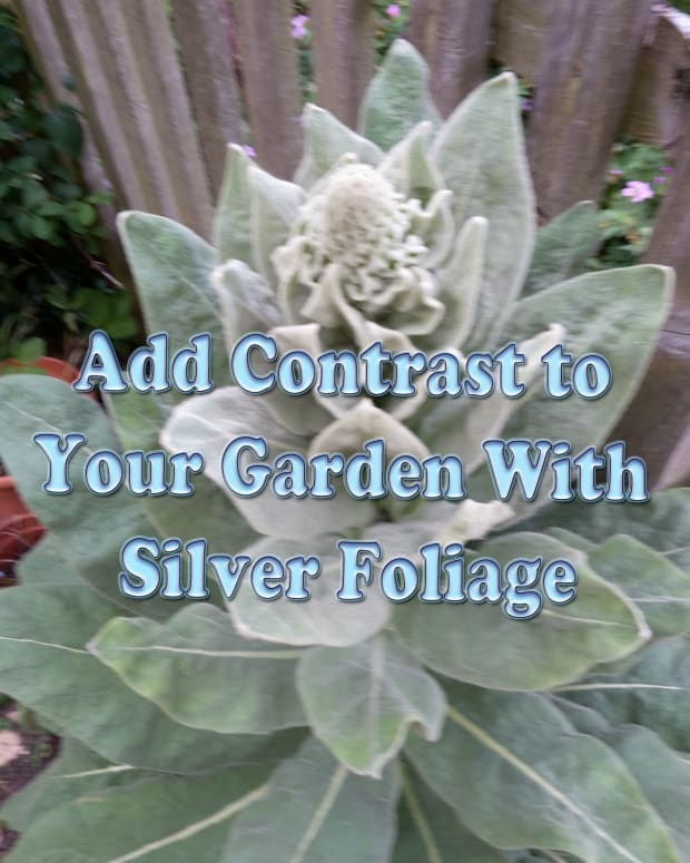 add-contrast-to-garden-with-silver-foliage