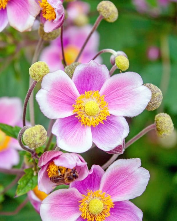 how-to-grow-japanese-anemones-windflowers