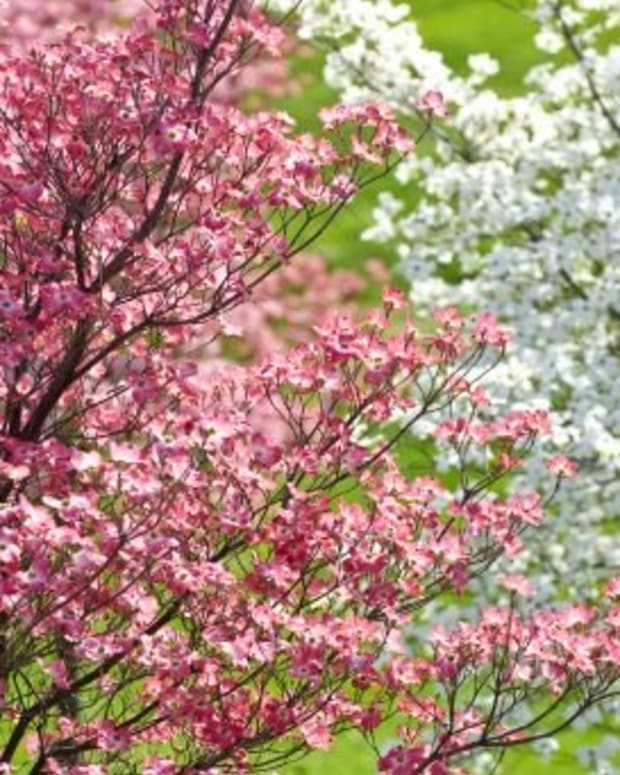 how-to-solve-problems-with-dogwood-trees