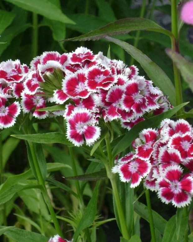 how-to-grow-sweet-william-a-cottage-garden-favorite