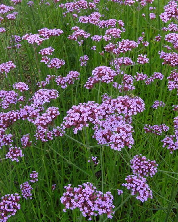 how-to-grow-verbena-bonariensis-a-cottage-garden-favorite