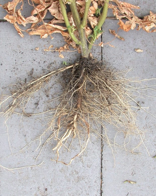 how-deep-do-tomato-roots-grow