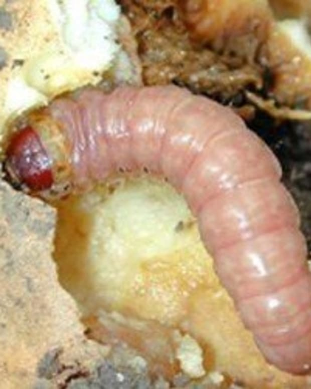 how-to-rid-your-garden-of-iris-borers