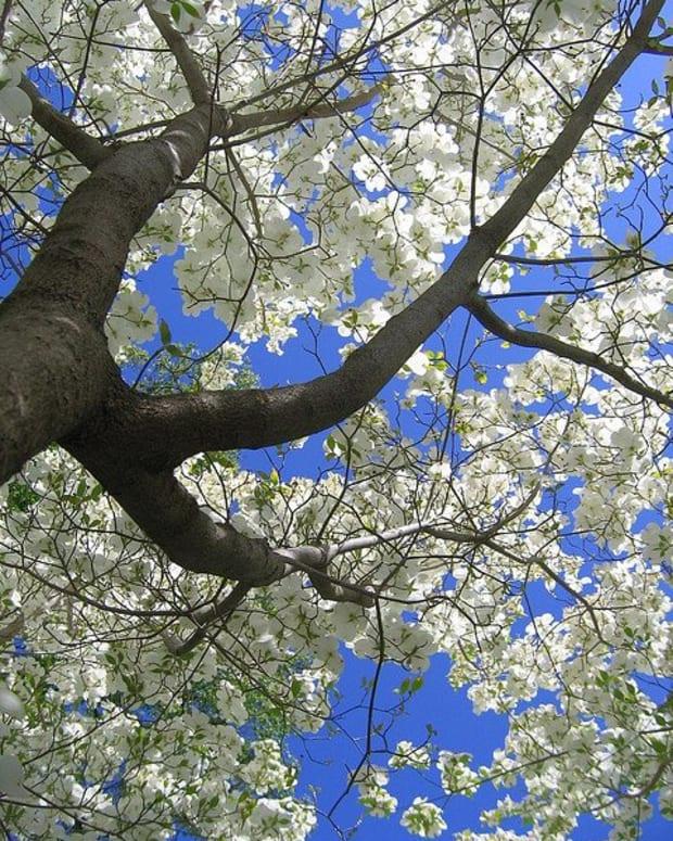 ohios-dogwood-trees