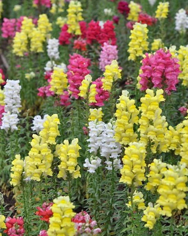 cottage-garden-favorites-snapdragons